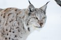 European lynx in a winter landscape the snow cold february norway Stock Photos