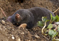 The European mole (Talpa europaea) Royalty Free Stock Photography
