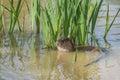 European Otter. Royalty Free Stock Photo
