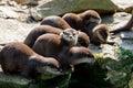 European otter family Lutra lutra Royalty Free Stock Photo