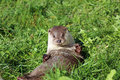 European otter lutra lutra making hi five Royalty Free Stock Image