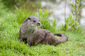 European otter Royalty Free Stock Photo
