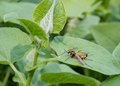 European paper wasp polistes dominula rest on a leaf Stock Images