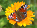 European peacock butterfly on flower Stock Photos