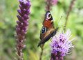 European Peacock butterfly on flower. Royalty Free Stock Photo