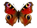 European Peacock butterfly (Inachis io) Royalty Free Stock Photo