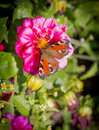 European peacock butterfly inachis io on cosmos flower selective focus with shallow depth of field Royalty Free Stock Image