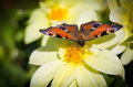 European peacock butterfly inachis io on cosmos flower selective focus with shallow depth of field Royalty Free Stock Photos