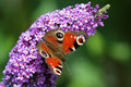 European peacock inachis io sitting on the blossom of a butterfly bush Stock Image