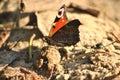 European peacock photo of an butterfly Stock Photos