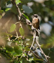 The European Penduline Tit Stock Image