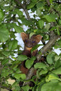 European pine marten martes martes in an apple tree berezinsky biosphere reserve belarus Stock Photos
