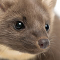 European Pine Marten or pine marten Stock Images