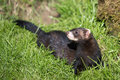 European Polecat Mustela putorius Royalty Free Stock Photo