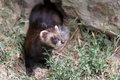 European Polecat (mustela putorius) Royalty Free Stock Photo