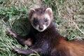 European Polecat (mustela putorius) Royalty Free Stock Photo