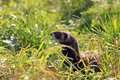 European polecat mustela putorius hidden in high grass also known as the black or forest meadow with grassland hayfield Stock Photos