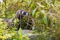 European polecat / Mustela putorius in high grass Royalty Free Stock Photo