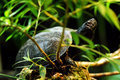 European pond terrapin Royalty Free Stock Photo
