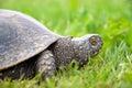 European pond turtle Royalty Free Stock Photography