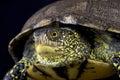 European pond turtle (Emys orbicularis) Royalty Free Stock Photo