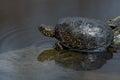 European pond turtle or Emys orbicularis Royalty Free Stock Photo