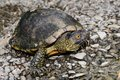 European pond turtle emys orbicularis or terrapin Stock Photo
