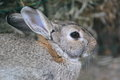 European rabbit the detail of Royalty Free Stock Photography
