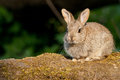 European Rabbit kitten Royalty Free Stock Photo