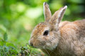 European rabbit Royalty Free Stock Photo
