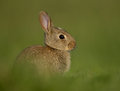 European rabbit oryctolagus cuniculus young in the meadow uk Stock Image