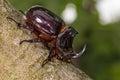 European Rhinoceros Beetle (Or...