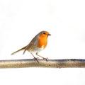 European robin Royalty Free Stock Photo