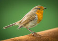 European robin bird Royalty Free Stock Photo