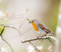 European robin bird sitting on a tree branch Royalty Free Stock Photo