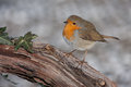 European robin on branch erithacus rubecula Royalty Free Stock Photography