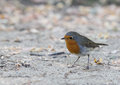 European robin chat passerine bird erithacus rubecula most commonly known simply as the redbreast flycatcher robinet Royalty Free Stock Photo