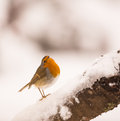 European robin erithacus rubecula perching snowed branch adopts funny attitude giving proud appearance Royalty Free Stock Photo