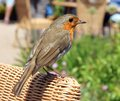 European robin erithacus rubecula a sitting on the arm of a cane chair Stock Image