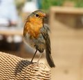 European robin erithacus rubecula a sitting on the arm of a cane chair Royalty Free Stock Photography