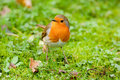 European Robin Red Breast on Mossy Grass Royalty Free Stock Images