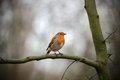 European Robin Redbreast perching on a branch Royalty Free Stock Images