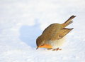 European Robin on Snow Royalty Free Stock Photo