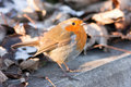 European Robin on Winter Morning Royalty Free Stock Photos