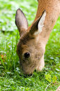 European Roe Deer Royalty Free Stock Photography