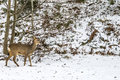 European roe deer (capreolus capreolus), doe Royalty Free Stock Photo