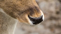 European roe deer close up of the noseof the Stock Photos