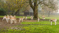 European roe deer view on a herd in a public park Royalty Free Stock Photo