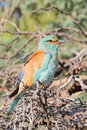 European Roller Stock Photo