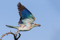 European roller with a bug in its beak take off from branch to eat it Stock Photo